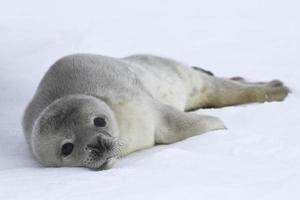 cuccioli di foca Weddell che giace sul ghiaccio foto