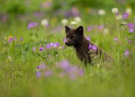 volpe artica vulpes lagopus nel prato di fiori, islanda.
