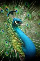 Ritratto di bellissimo pavone foto