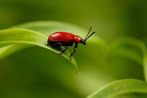 scarabeo rosso giglio scarlatto sulla pianta foto