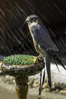 Merlino, piccolo uccello rapace, sotto la pioggia