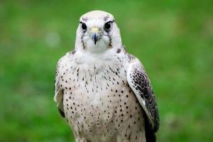 falco di Lanner da vicino foto