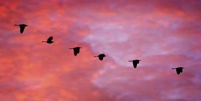 egrette in volo al tramonto foto
