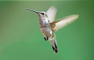 colibrì nero-chinned foto