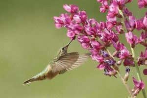 femmina di colibrì dalla coda larga (selasphorus platycercus) foto