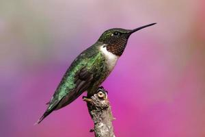 colibrì maschio rubino-throated