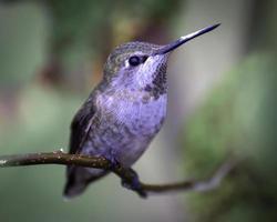 il colibrì di anna
