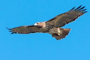falco coda rossa in volo