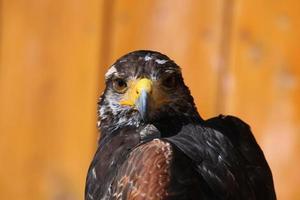falco di harris (parabuteo unicinctus).