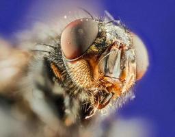 grandi mosche a testa. foto