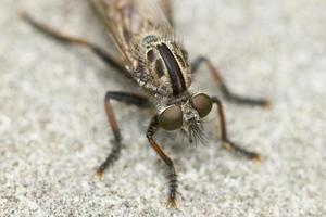 zanzara macro foto