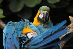 pappagalli preening foto