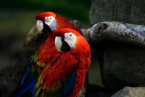 due pappagalli foto