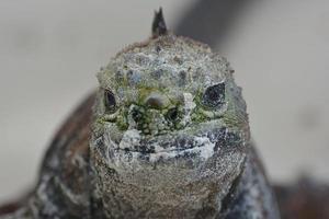 iguana marina da vicino foto