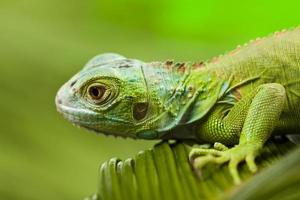 Iguana allo stato brado