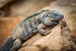 Iguana su una roccia