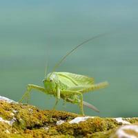 grande cespuglio-cricket verde (tettigonia viridissima) foto