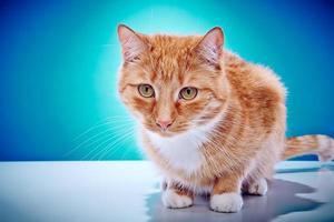 gatto americano a pelo corto foto