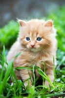 bellissimo gattino allo zenzero foto