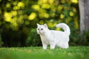 gatto britannico a pelo corto all'aperto foto