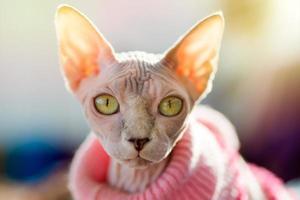 gatto sphynx foto