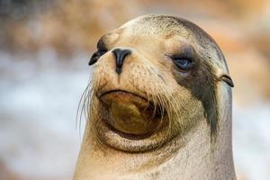 ritratto alto vicino californiano del leone marino foto