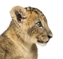 primo piano di un profilo del cucciolo di leone, 7 settimane, isolato