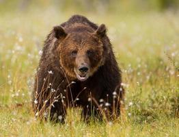 orso bruno eurasiatico (ursos arctos) foto