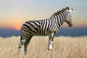 zebra isolata su fondo bianco foto