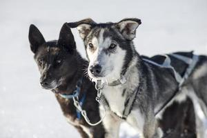 slitta trainata da cani husky siberiano foto