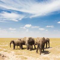 loxodonta africana, elefante africano del cespuglio. foto