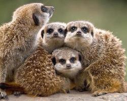 famiglia meerkat foto