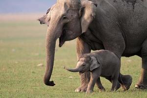 madre e bambino selvaggi dell'elefante asiatico, parco nazionale di corbett, India