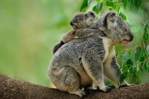 mamma koala foto