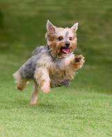 yorkshire terrier in esecuzione foto