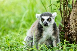 lemure dalla coda ad anelli adorabili che si siedono sull'erba foto