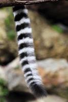 coda di lemure catta dalla coda ad anelli foto