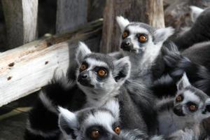 Lemuridae foto