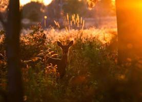 cervo al parco di ojibway foto
