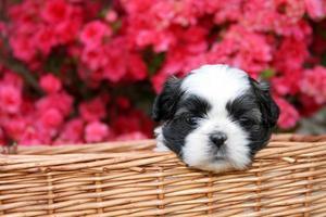 cucciolo di Shih Tzu foto