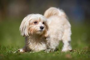 Bichon Havanais cane all'aperto nella natura foto