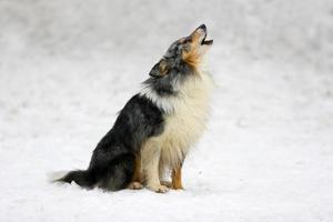 cane pastore delle Shetland sulla neve foto