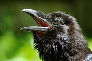 testa di corvo su sfondo verde