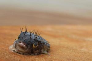 Blowfish morto sul molo foto