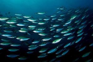pesce di branco m16 foto