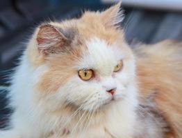 Gatto persiano foto