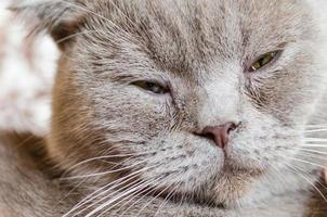 gatto addormentato di piega scozzese foto