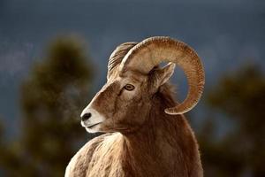 pecore bighorn in inverno foto