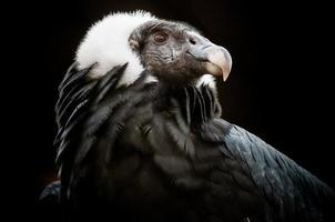 il condor andino (vultur gryphus) foto