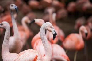 gruppo di fenicotteri rosa nel suo ambiente naturale